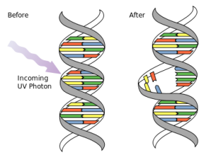 DNA_UV_mutation_svg