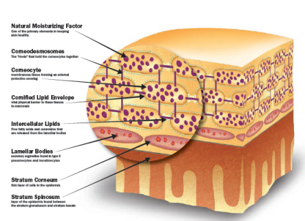 The stratum corneum and select structures